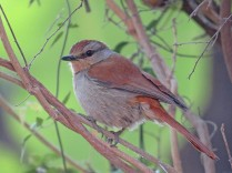 Rufous Tailed Palm Thrush