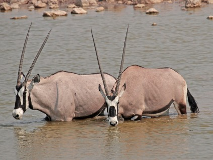 Gemsbok cooling off