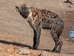 A wet hyena
