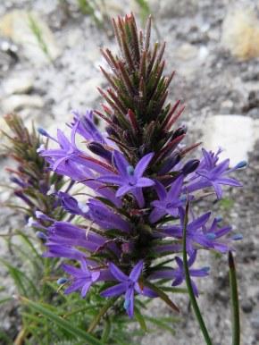 Merceria azurea
