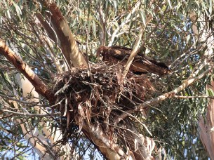Immature African Harrier-Hawk on nest