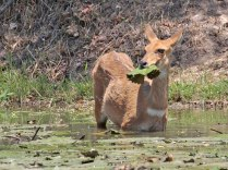 Bushbuck eating water lilies
