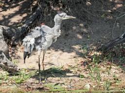 Grey Heron having a bad hair day