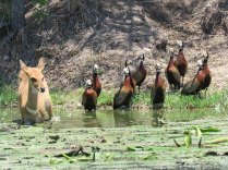 Bushbuck and White-Faced Ducks