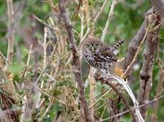 Pearl Spot Owlet