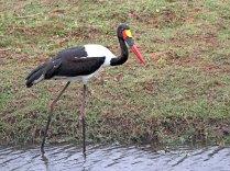Saddle-Bill Stork