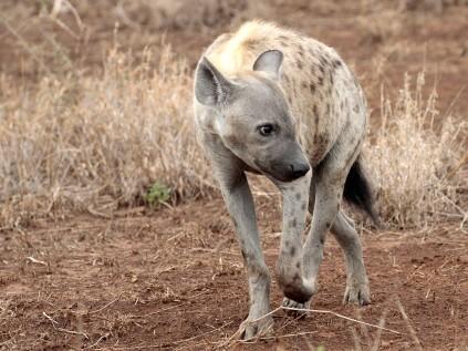 Spotted Hyena skulking