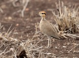 Temmincks Courser