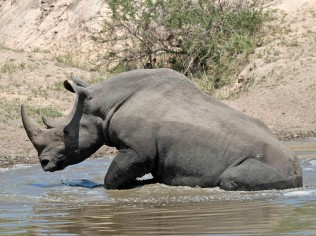 White Rhino cooling off