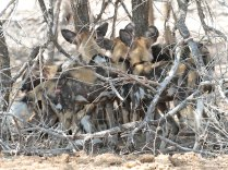 Wild Dogs congregating