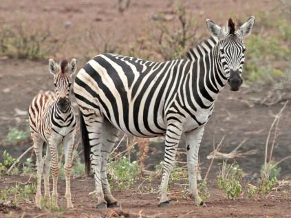 Zebra and Foal