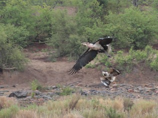 Marabou Stork being approached by Fish Eagle