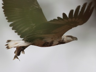 The Fish Eagle with the fish stolen from the Marabou in flight