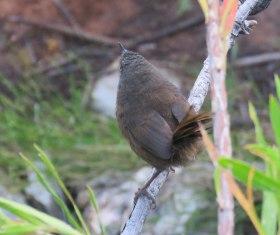 Victorin's Warbler