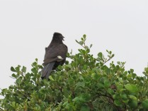 Jacobin Cuckoo with grub