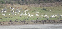 Some Grey Herons and African Spoonbills, with a lot of Yellow Billed Ducks