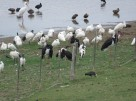 Four Black Storks and friends