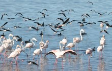 Greater Flamingos and Black-Winged Stilts