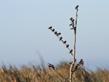 Brown-Throated Martins