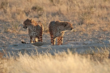 Cheetahs at the waterhole at Grootkolk