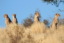 Cheetahs looking for something to chase