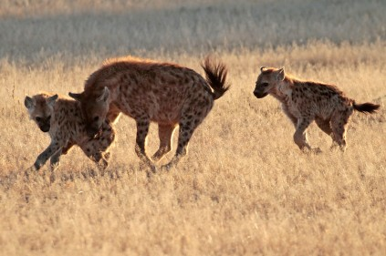 Spotted Hyenas at play
