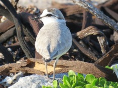 White Fronted Plover