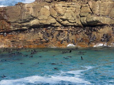 Part of a Cape Fur Seal colony