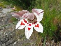 Gladiolus debilis