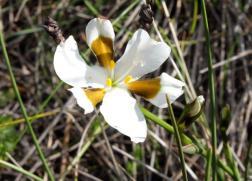 Aristea teretifolia
