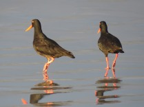 African Oystercatchers