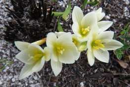 Geissorhiza hispidula