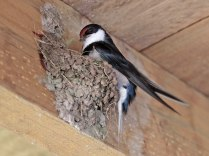 White Throated Swallow