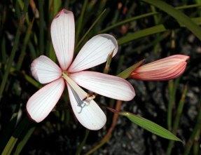 Geissorhiza shenzii