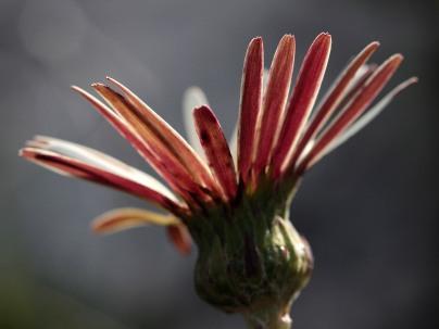 Gerbera tomentosa