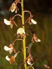 Acrolophia bolusii