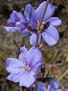 Aristea rigidifolia
