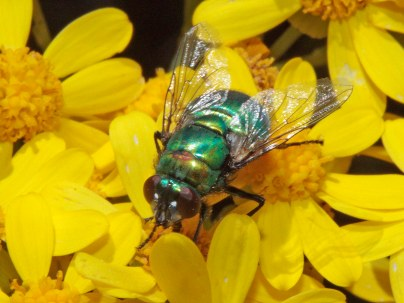 Chrysomya chloropyga, Copper-tailed Blowfly