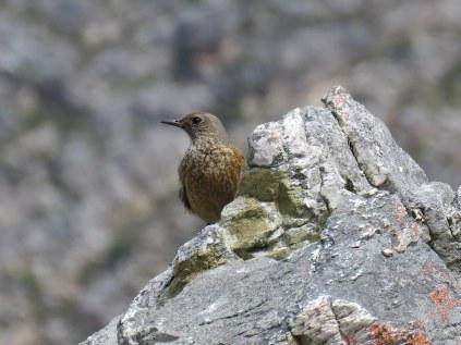 Female Sentinel Rock Thrush