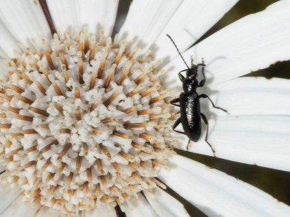 Gerbera tomentosa and beetle