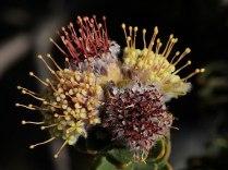 Leucospermum trunculatum
