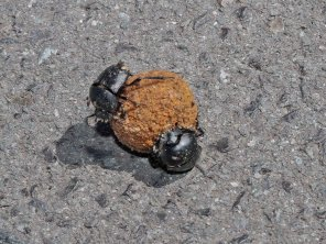 Dung beetles doing their thing!