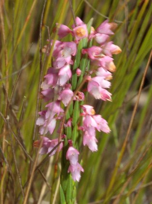 Erica corifolia