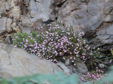 Erica spumosa against a cliff face