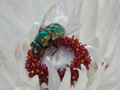 Blow Fly in Syncarpha vestita