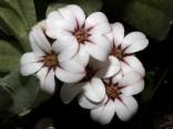 Adenandra sp.