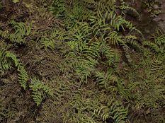 Ferns in Elephant's Eye Cave