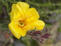 Evening Primrose - an alien from S America