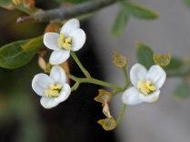 Montinia caryophyllacea