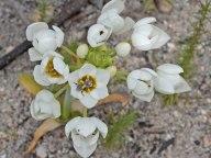 Ornithagolum thyrsoides